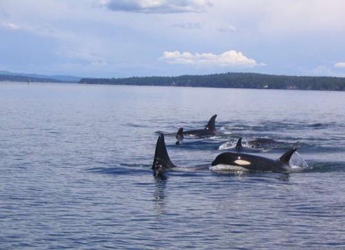 bulletin_summer2009-killer-whale1