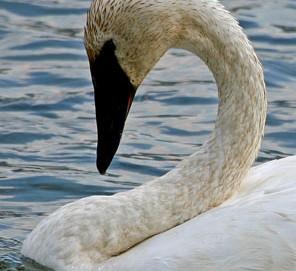 trumpeter_swan