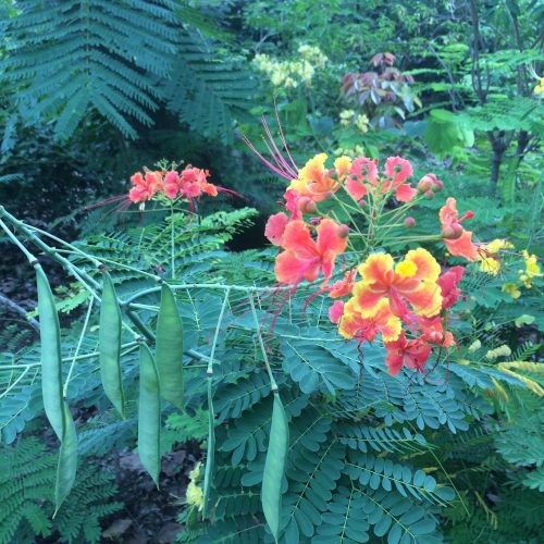 Flamboyant flower